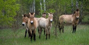 tschernobyl-pferde